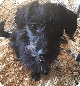 Terrier (Unknown Type, Small) Mix Dog for adoption in PLAINFIELD, Indiana - Tily