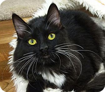 Domestic Mediumhair Cat for adoption in Westlake Village, California - Lucy