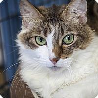 Domestic Longhair Cat for adoption in St Helena, California - Elliot