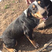 Adopt A Pet :: Jasmine meet me 4/7 - Manchester, CT