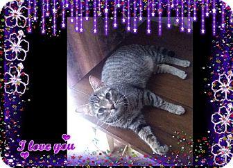 Domestic Shorthair Cat for adoption in london, Ontario - Nash