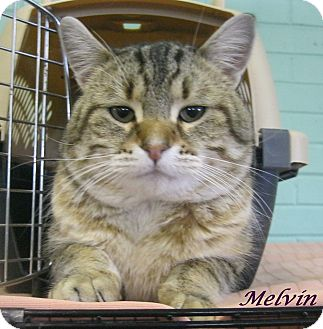 Domestic Shorthair Cat for adoption in Chisholm, Minnesota - Melvin