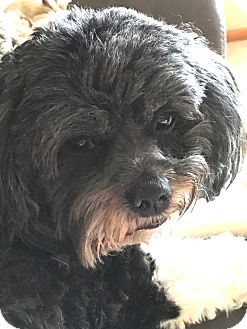 Havanese/Shih Tzu Mix Dog for adoption in Omaha, Nebraska - Evie-Pending Adoption