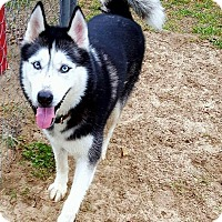 Adopt A Pet :: Boogie - Clearwater, FL