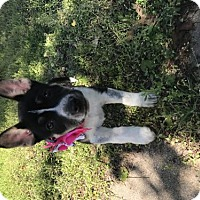 Adopt A Pet :: Moana - Ponca City, OK