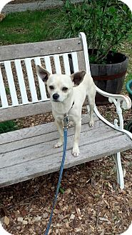 Chihuahua Mix Dog for adoption in North Brunswick, New Jersey - Dougy