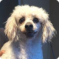 Adopt A Pet :: Cord - Orlando, FL