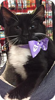 Maine Coon Kitten for adoption in Waldorf, Maryland - Sabrina
