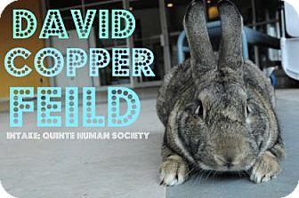 Flemish Giant Mix for adoption in Hamilton, Ontario - David Copper Feild