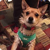 Adopt A Pet :: Ziggy - Hillsboro, IL