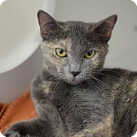 Domestic Mediumhair Cat for adoption in West Cornwall, Connecticut - Cookie