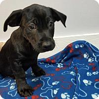 Adopt A Pet :: Falcon - Hawk Point, MO