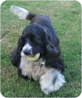 Cocker Spaniel Dog for adoption in Sugarland, Texas - Willie