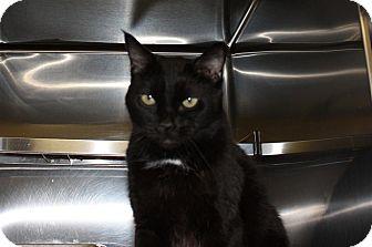 Domestic Mediumhair Cat for adoption in St. Petersburg, Florida - Cincinnati