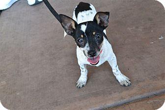 Rat Terrier/Chihuahua Mix Puppy for adoption in Scottsdale, Arizona - Sammy