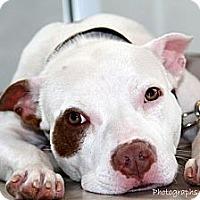 Adopt A Pet :: Cupcake - Dallas, GA