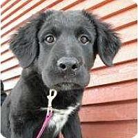 Adopt A Pet :: Lola - Rigaud, QC