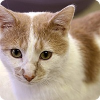 Adopt A Pet :: Abernathy Squashbuckler - Chicago, IL
