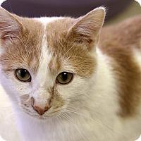 Adopt A Pet :: Abernathy Squashbuckler - Chicago, IL