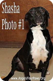 Pit Bull Terrier Mix Dog for adoption in Humble, Texas - SASHA