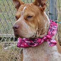 Shar Pei/Hound (Unknown Type) Mix Dog for adoption in Liverpool, Texas - LILY MAE
