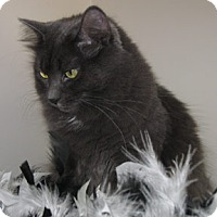 Domestic Shorthair Cat for adoption in Verdun, Quebec - Lily