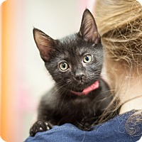 Domestic Shorthair Kitten for adoption in Dallas, Texas - Lillian