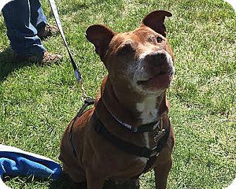 Pit Bull Terrier/Labrador Retriever Mix Dog for adoption in Staunton, Virginia - Dixie