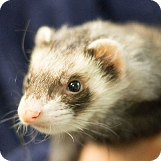 Ferret for adoption in Balch Springs, Texas - Sinclair