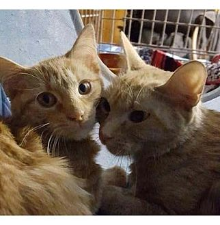 American Shorthair Cat for adoption in New York, New York - Paulina