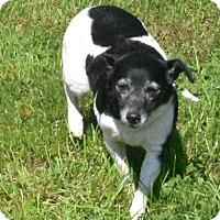 Jack Russell Terrier Mix Dog for adoption in Crystal Lake, Illinois - Bianca