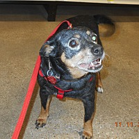 Miniature Pinscher/Chihuahua Mix Dog for adoption in haslet, Texas - ladybug