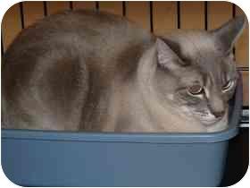 Siamese Cat for adoption in Diamond Bar, California - ASANA
