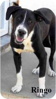 Dachshund/Great Dane Mix Dog for adoption in Palmdale, California - Ringo
