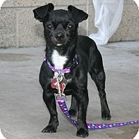 Adopt A Pet :: Pepper - Scottsdale, AZ