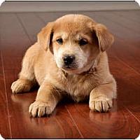 Adopt A Pet :: Curry - Owensboro, KY
