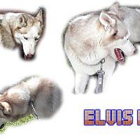 Adopt A Pet :: Elvis II - Seminole, FL