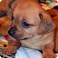 Adopt A Pet :: Coda-Adoption pending - Bridgeton, MO