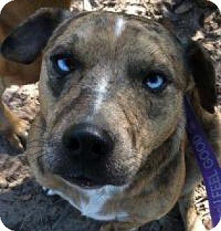 Catahoula Leopard Dog/Australian Shepherd Mix Dog for adoption in Kingwood, Texas - Tigger