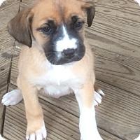 Adopt A Pet :: Princess Leia - Glastonbury, CT