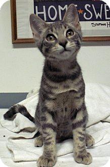 Domestic Mediumhair Kitten for adoption in Fayetteville, Georgia - Bobby