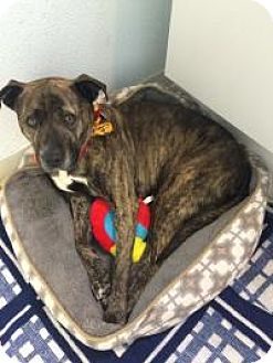 Pit Bull Terrier Mix Dog for adoption in Bloomingdale, New Jersey - Dolce