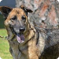 German Shepherd Dog/Labrador Retriever Mix Dog for adoption in Downey, California - Amelia