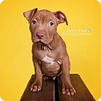 Adopt A Pet :: Valentino - Bristow, VA