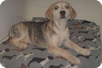 Treeing Walker Coonhound/Labrador Retriever Mix Puppy for adoption in Burgaw, North Carolina - Julie