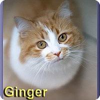 Adopt A Pet :: Ginger - Aldie, VA