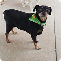 Adopt A Pet :: MADDIE - Fort Worth, TX