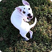 Adopt A Pet :: Puppy - Chesterfield, VA