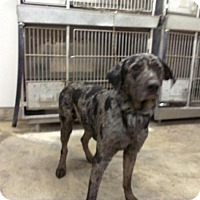 Adopt A Pet :: BLUE - Upper Sandusky, OH