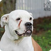 American Bulldog Dog for adoption in Troy, Illinois - Ophelia Fostered (Rebecca A)